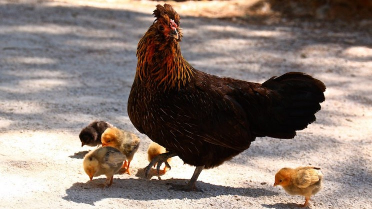 Researchers Have Come Across Genes that Could Create Stronger and Healthier Chickens