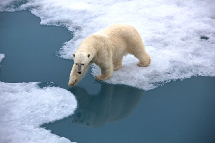 Polar Bears Could Be Extinct by 2100 Due to Climate Crisis