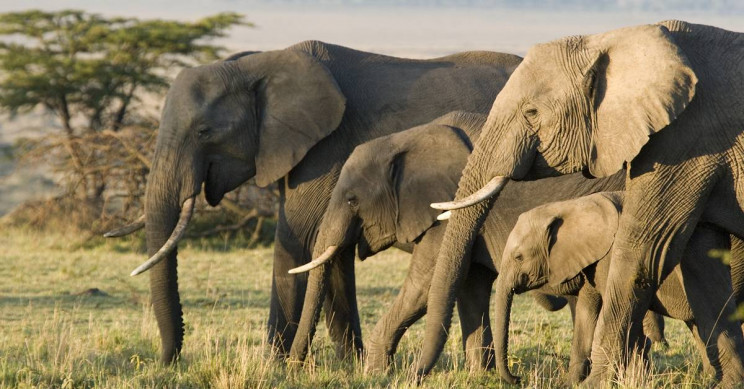 Study Explains Why Elephants Are Surprisingly Cancer-Resistant