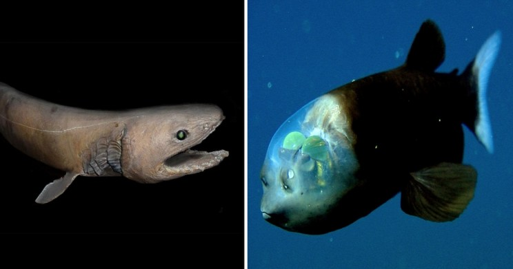 Looking into the Abyss: 7 of the Most Alien-Looking Animals in the Mariana Trench