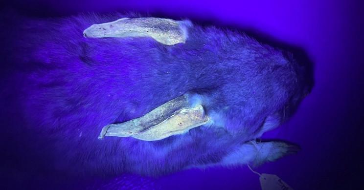 Australia's Glow-in-the-Dark Marsupials Surprise Scientists