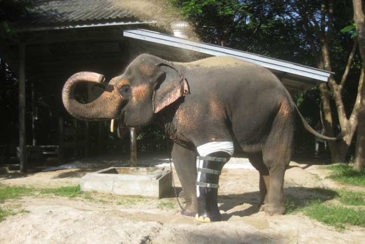 animal prosthetics elephant