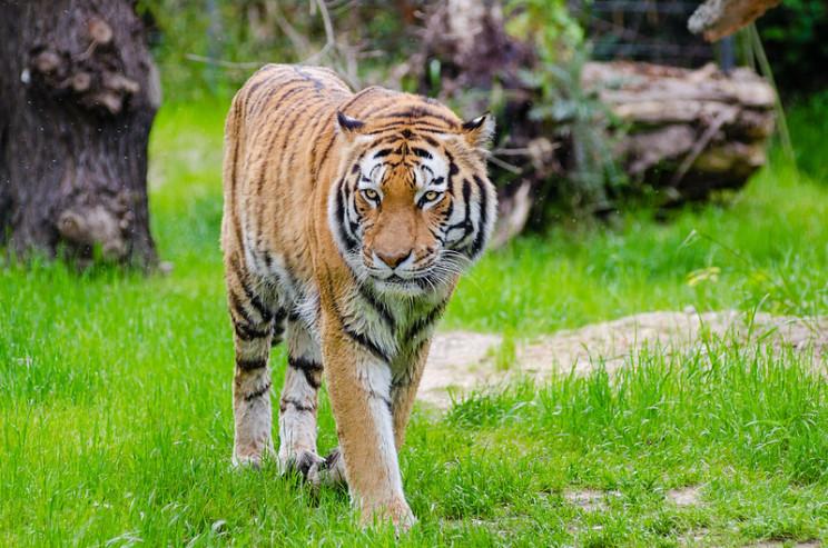 animal prosthetics tiger