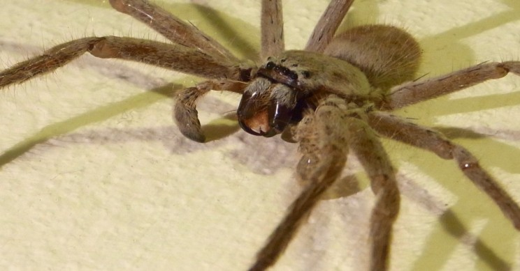 Giant Tasmanian Spider Devours a Possum in Shocking Photos