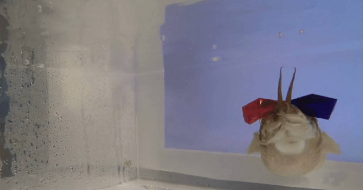 Adorable Cuttlefish with 3D Glasses Helps Researchers Evaluate How The Fish See