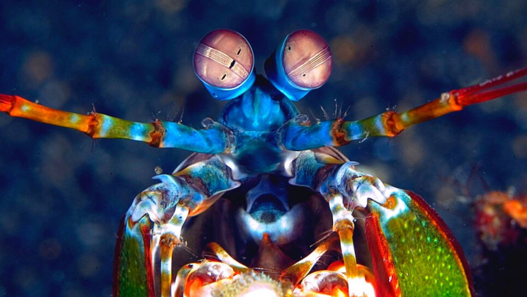 The Mantis Shrimp Will Change How You See the World (Literally)