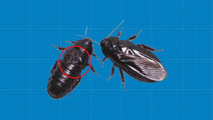 Cockroaches Eat Each Other After Sex and Here's Why