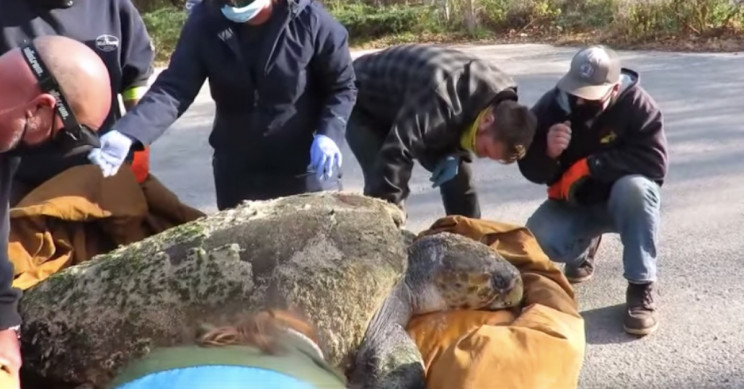 Cold Stunned 350 Pound Loggerhead Turtle Dies After Rescue Ie