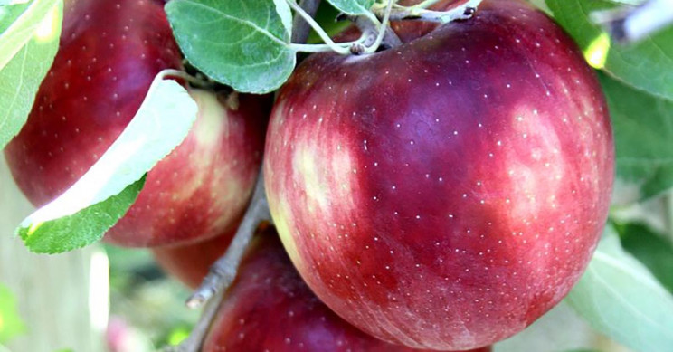 Debut of New Apple Variety Called Cosmic Crisp Hits Markets