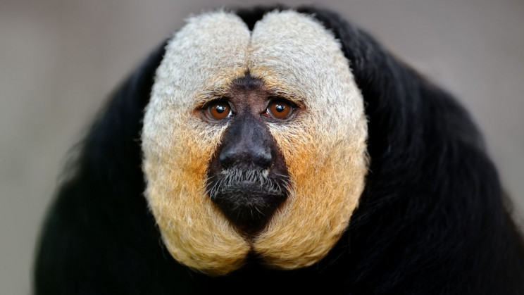 Saki Monkeys Watch On-Demand TV to Relieve Boredom