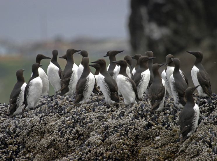 "How a Massive Marine Heatwave Known as ""The Blob"" Killed 1 Million Seabirds in the U.S."