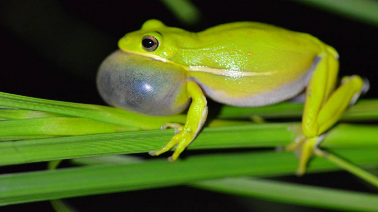 The Lungs of Female Frogs Tune Out Unwanted Males