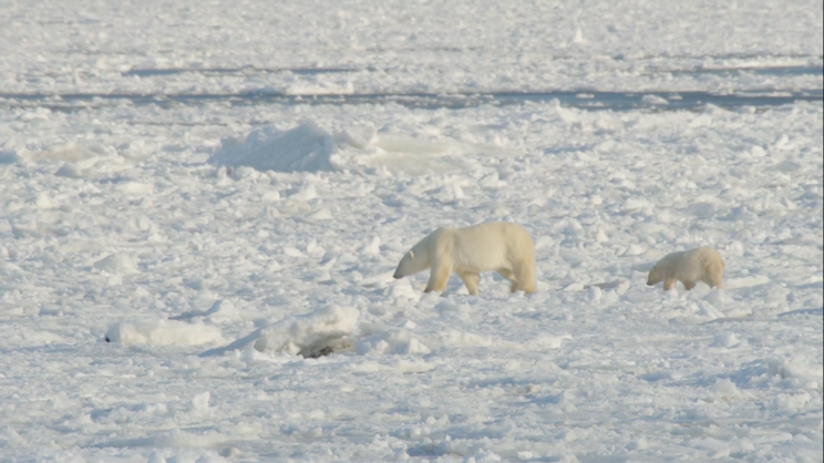 New Stick-On Tech Could Solve Polar Bear Tracking Problem