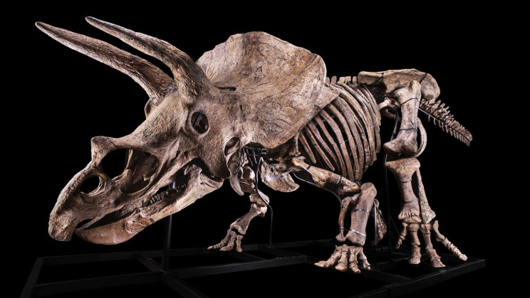 World's Largest Triceratops Skeleton Is Up for Auction