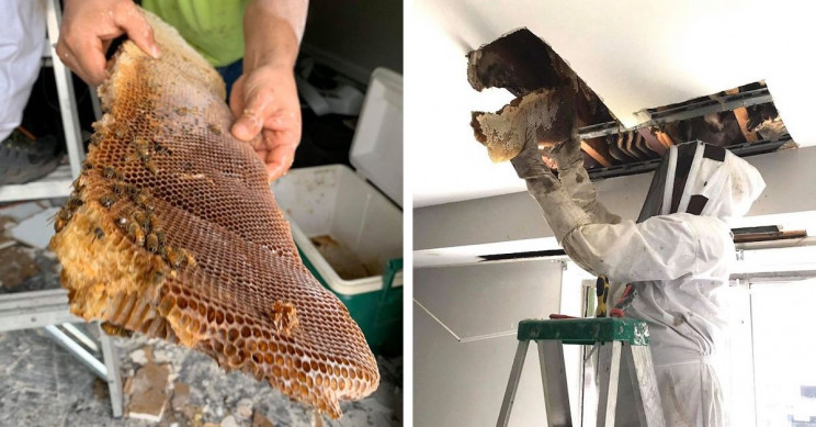 8-Foot-Long Beehive Discovered inside the Walls of an Apartment