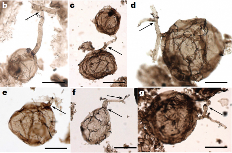 Billion-Year-Old Fossil Fungi Push Back Records by Over 450 Million Years