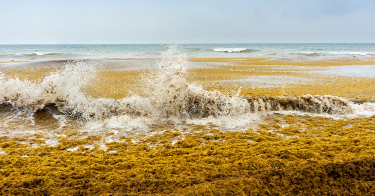 Largest Ever Expanse of Seaweed the Length of the Atlantic Recorded