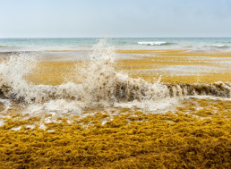 Largest Seaweed Bloom Recorded Impressively Spans the Length of the Atlantic Ocean