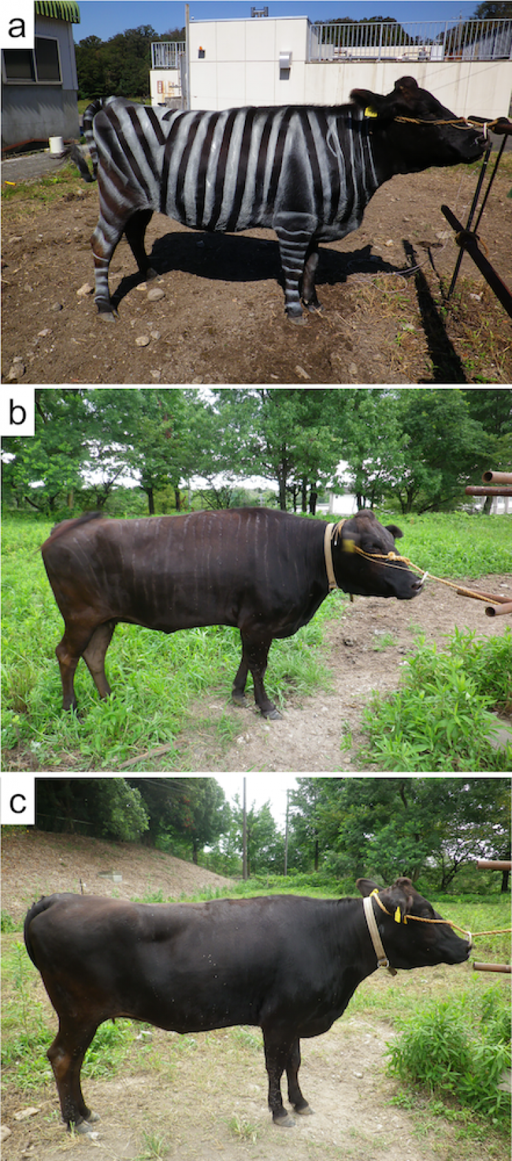 Japanese Scientists Painted Cows to Resemble Zebras and Prevent Biting Flies