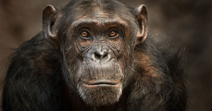 New Bacteria Linked to Chimp Deaths Could Jump to Humans