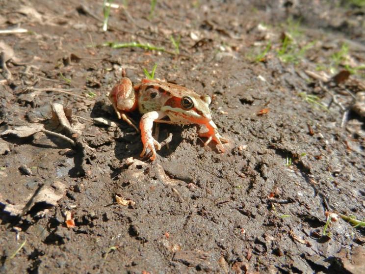 natures defense mechanisms wood frog