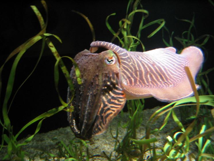 natures defense mechanisms cuttlefish