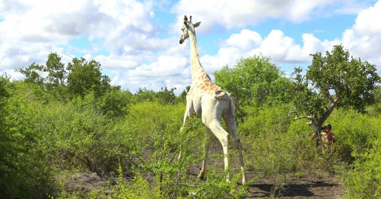 Last white giraffe gets tracking device