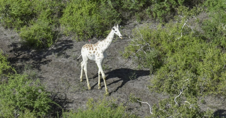 White Giraffe Northern Rangelands Trust