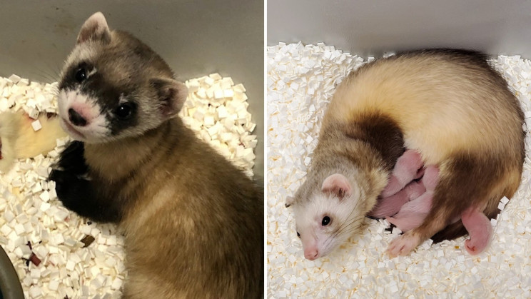 Scientists Just Cloned an Endangered Ferret From 30-Year-Old Cells