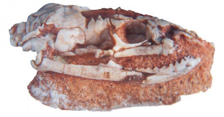 95-Million-Year-Old Skull Fossil Points to 'Biblical Snake' with Hind Legs