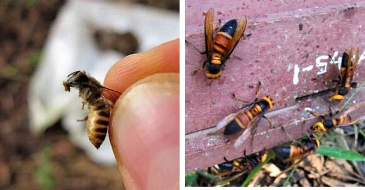 Honey Bees Use Pungent Poop to Stave off Giant Murder Hornet Attacks