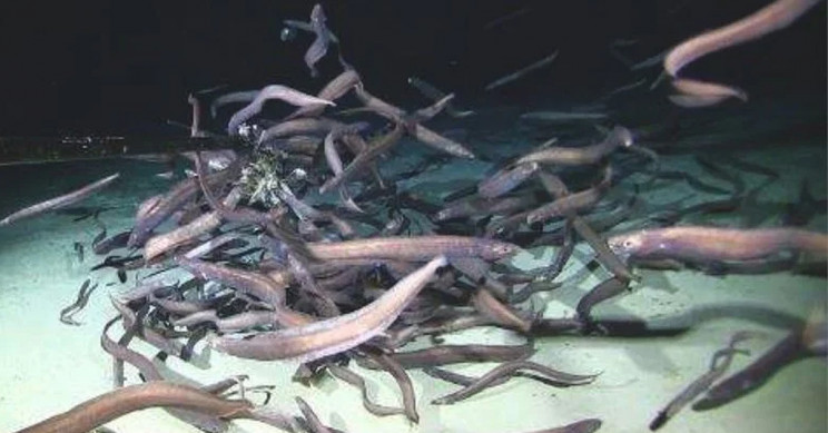 Record Number of Eels Spotted at the Bottom of Pacific Ocean