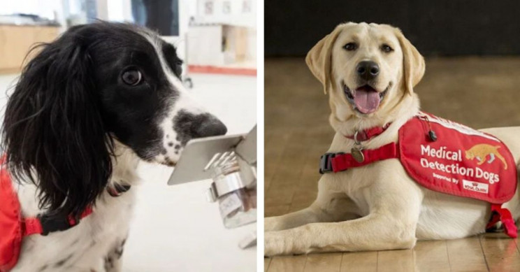 Medical Detection Dogs Could Assist COVID-19 Testing by Sniffing 750 People per Hour