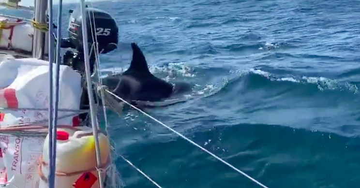 'Crazy' killer whales attack boats off Spain and Portugal