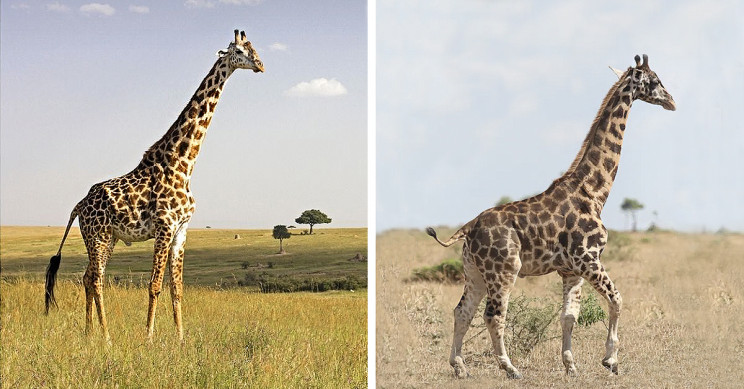 Adorable Dwarf Giraffes Spotted in Africa