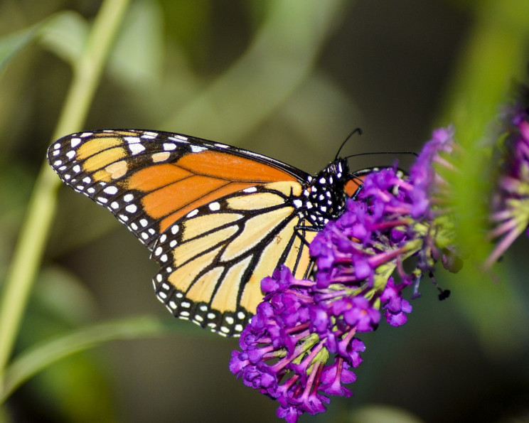 Study Finds Climate Change Is Decreasing Common Butterfly Numbers in Ohio