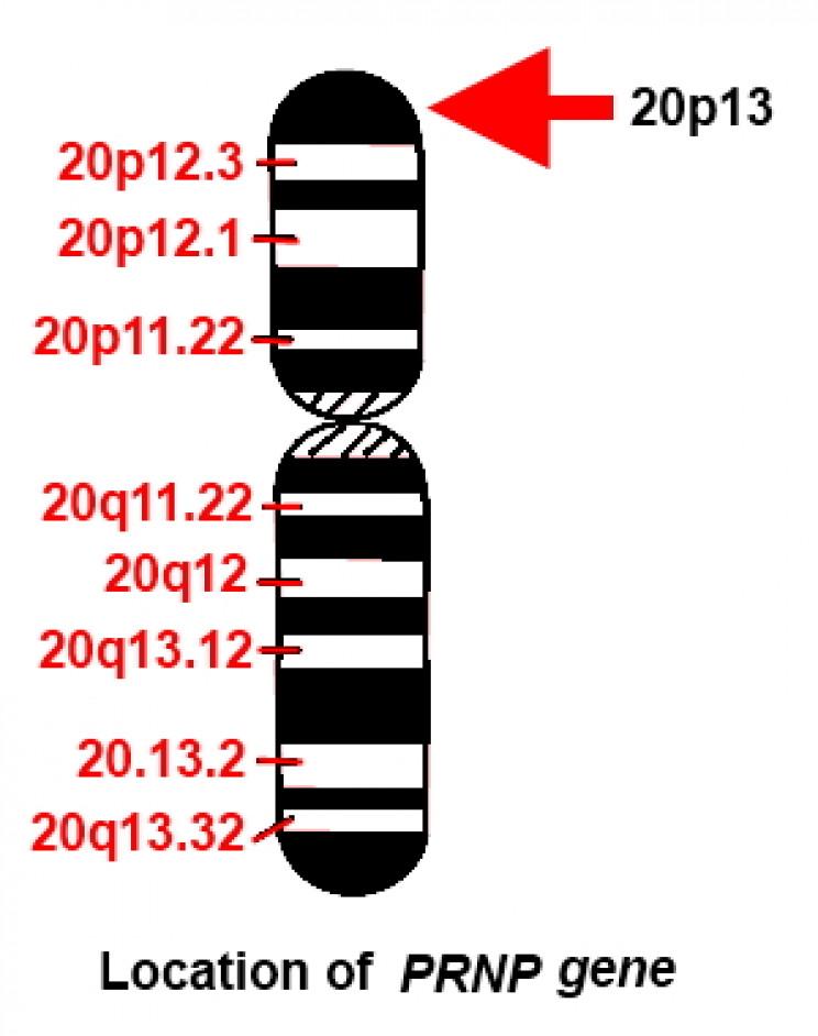 Location of PRNP gene