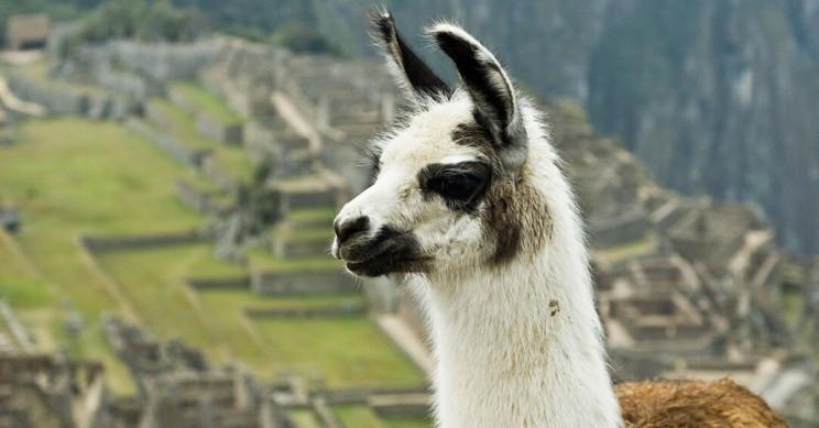 Llama-Based 'Antibody Cocktail' Neutralizes COVID-19 Virus