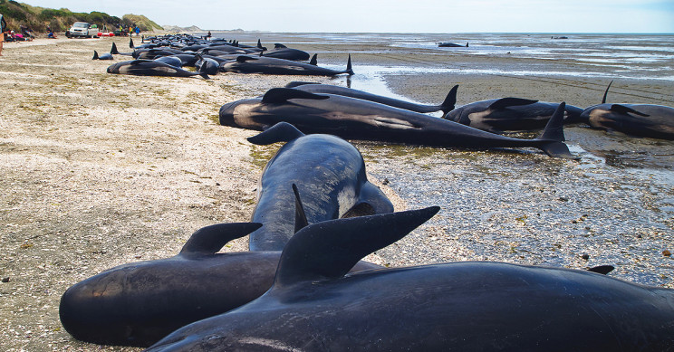 Almost 500 pilot whales stranded on Australia's coast, 380 have died