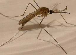 Can Mosquitoes Kill Us?