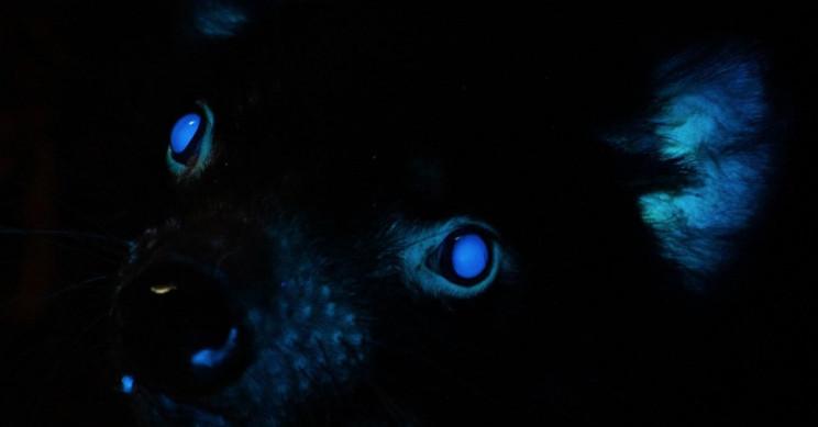 Tasmanian Devils Added to List of Animals that Glow in the Dark