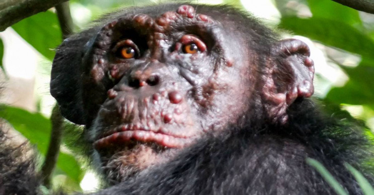 Leprosy Found in Wild Chimps For First Time Ever