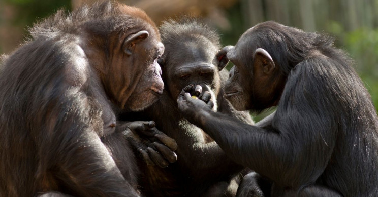 The Older the Chimp, the Less Fake Friends Needed, Study Shows
