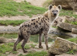 A New Study Proves Ancient Hyenas Inhabited Canada During the Ice Age