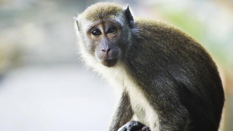 Researchers Fix Cholesterol in Monkeys Through CRISPR Gene Editing