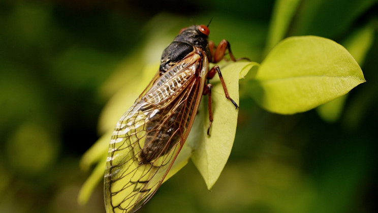 Trillions of Cicadas to Emerge From Underground After 17 Years