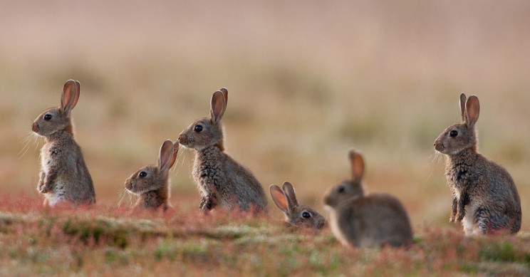 Rabbits in North America Dying From Rabbit Hemorrhagic Disease Virus Type 2