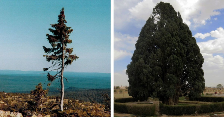 7+ of the Oldest Trees In the World