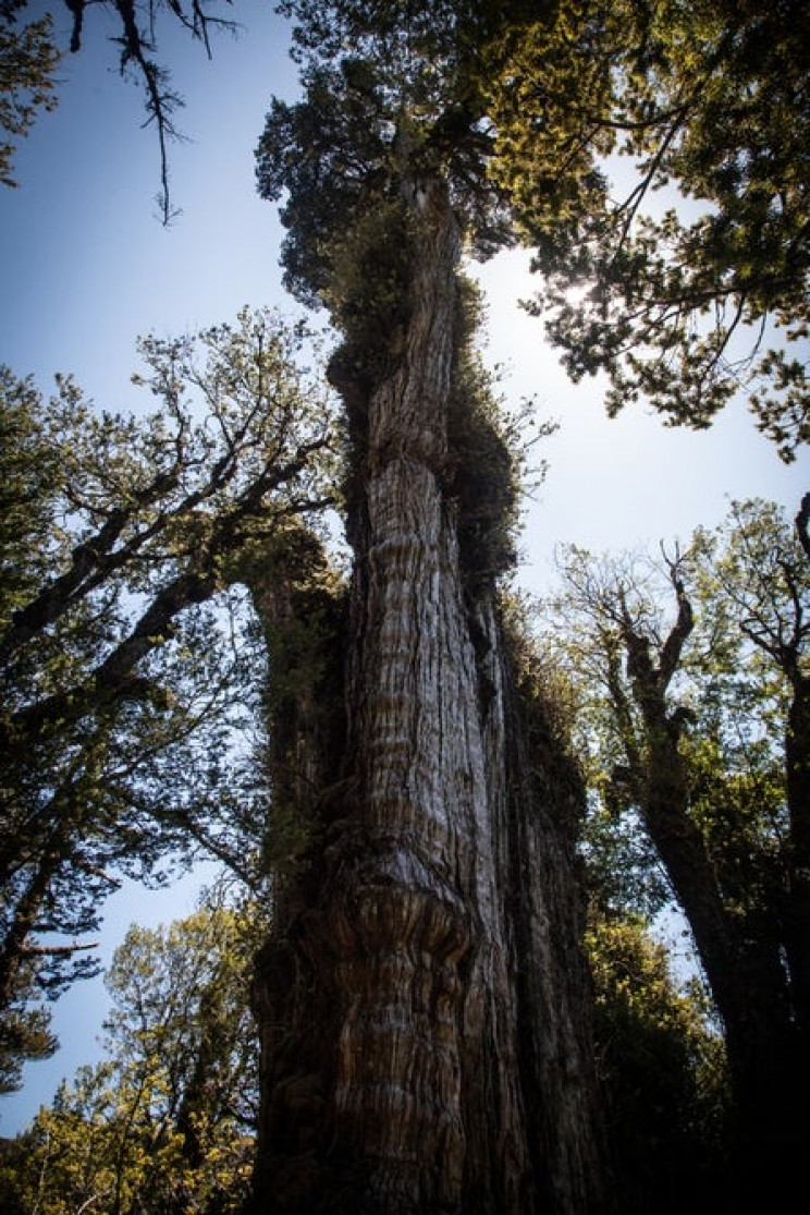 oldest trees in the world gran abuelo