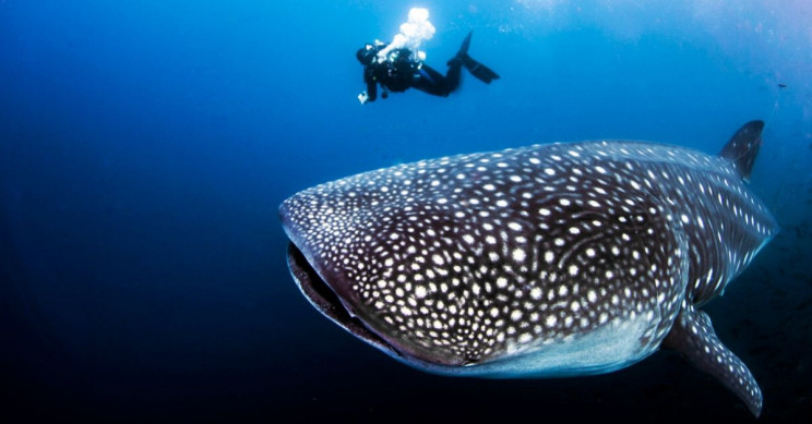 Cold War Nuclear Bomb Tests Help Unveil Real Age of Whale Sharks